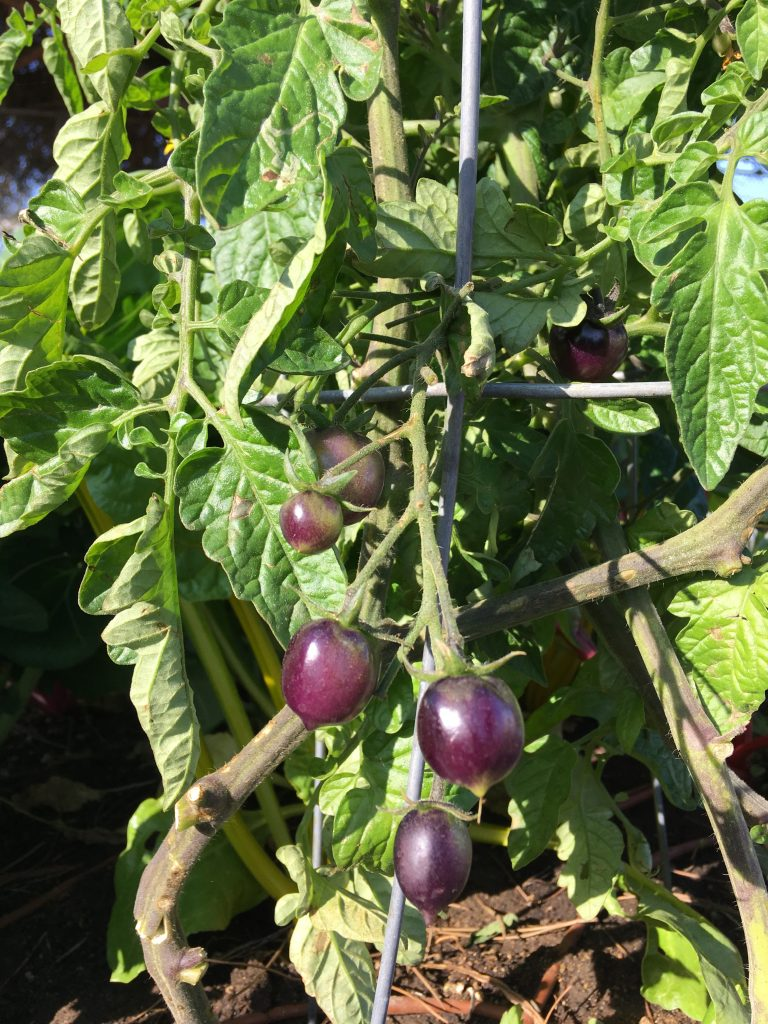 Purple tomatoes at Chula Vista High School garden